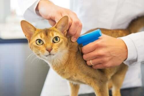 O microchip em gatos é obrigatório?