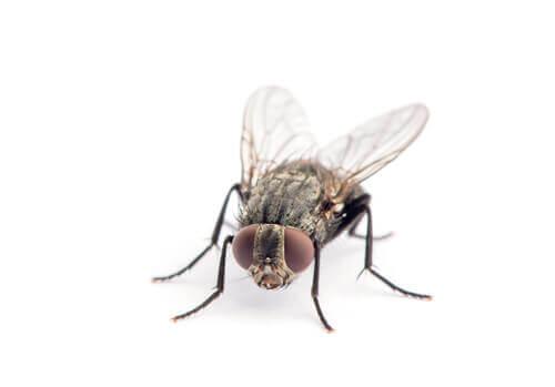 O ciclo de vida da mosca doméstica