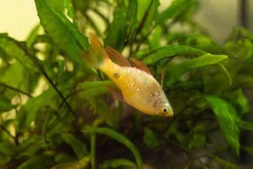 Hidropsia em peixes