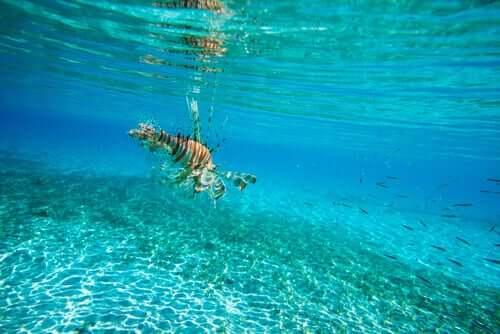 O peixe-leão entrou no Mar Mediterrâneo?