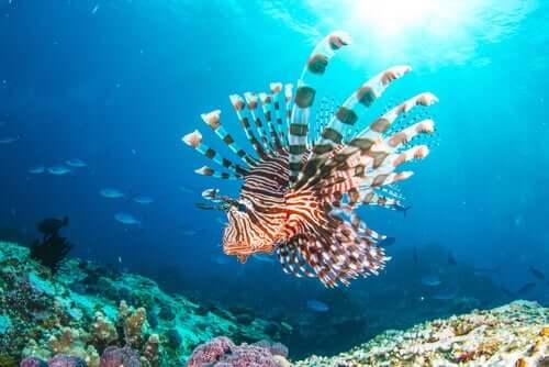 Peixe-leão: um novo residente do Mar Mediterrâneo