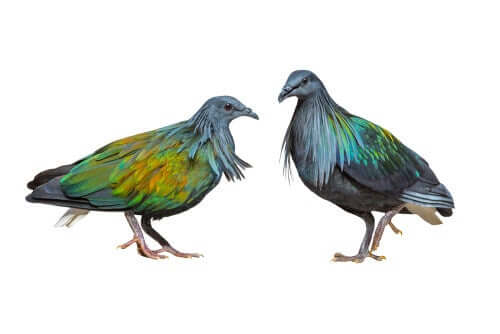 Qual é a relação do pombo de Liverpool com o pássaro dodô?