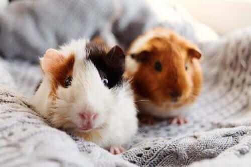 Tumores em roedores: como lidar com eles