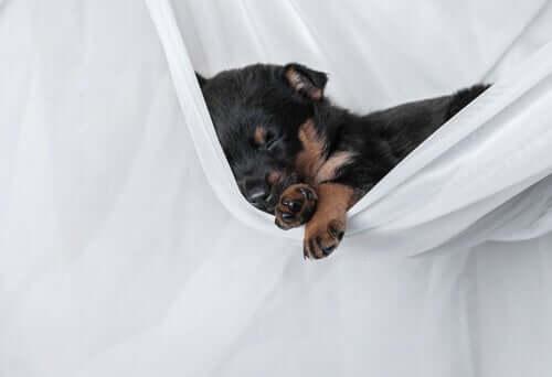 Razões pelas quais os cães arranham o local de dormir