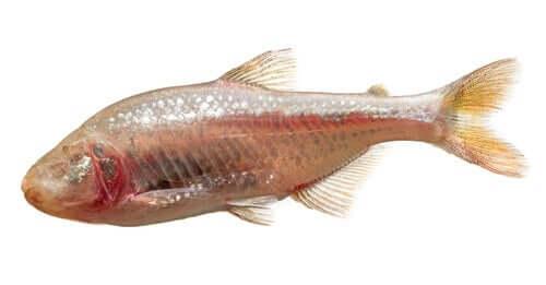 Tetra-cego: o peixe que repara o próprio tecido cardíaco