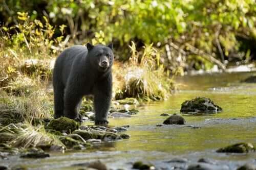 O abate de um urso por causa dos turistas que o alimentavam