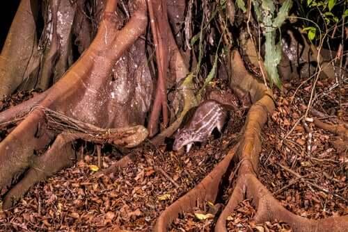 Paca, um roedor que também tem o nome de 'cachorro das montanhas'