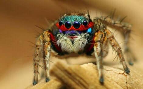 As aranhas-saltadoras: As aranhas mais adoráveis do reino animal