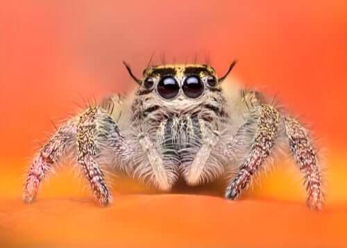 Aranhas-saltadoras: as aranhas mais adoráveis do reino animal