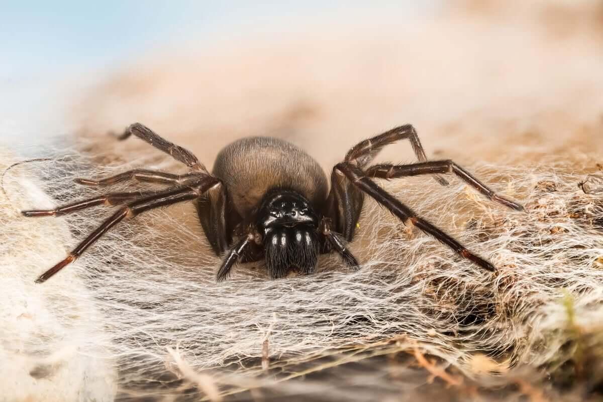 Um caso específico:Amaurobius ferox