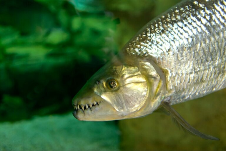 Peixe-tigre: titã africano de água doce