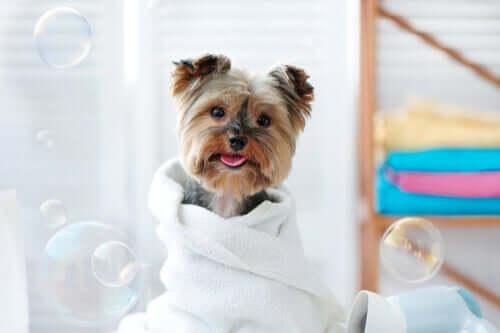 Como limpar os animais de estimação com lenços umedecidos?