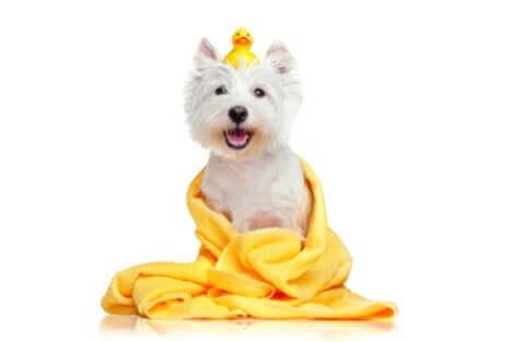 limpar os animais de estimação com lenços umedecidos