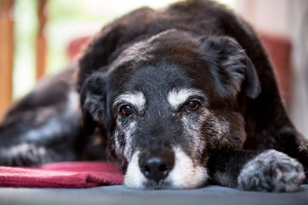 Sinais de senilidade em cães