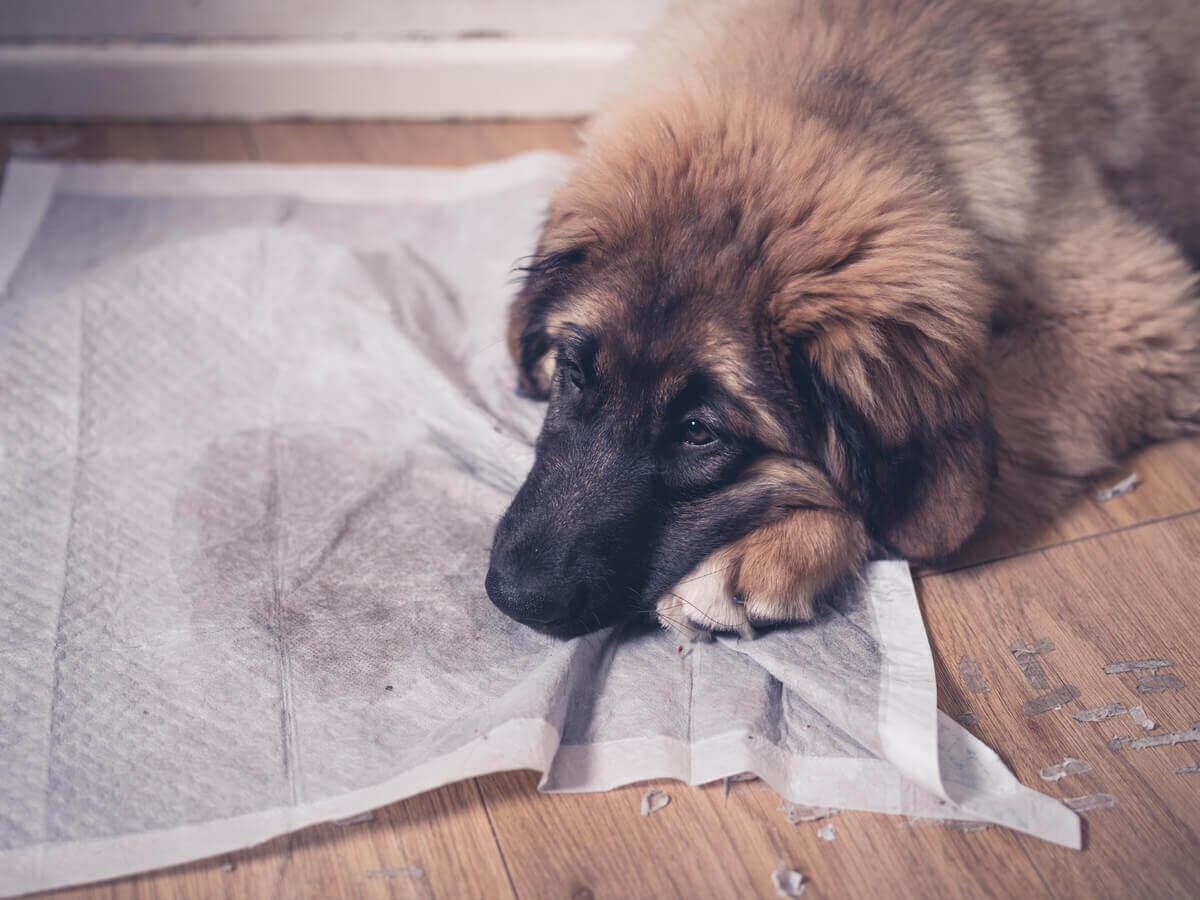 Por que os cães urinam dentro de casa?