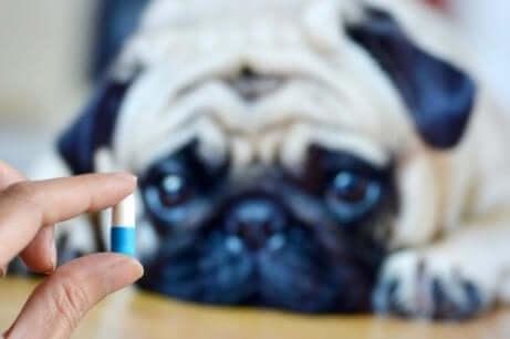 quantidade de medicação que deve ser dada a um cachorro