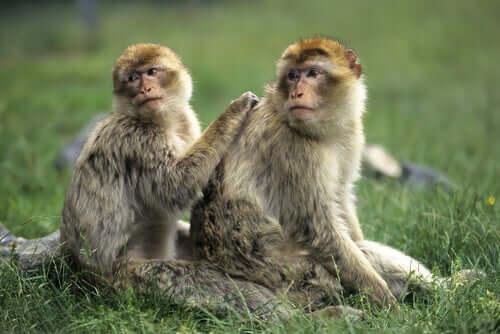 A adoção feita pelos macacos
