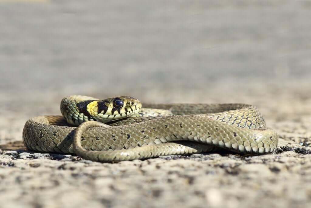 Cobra-de-água-de-colar: entre a água e a terra