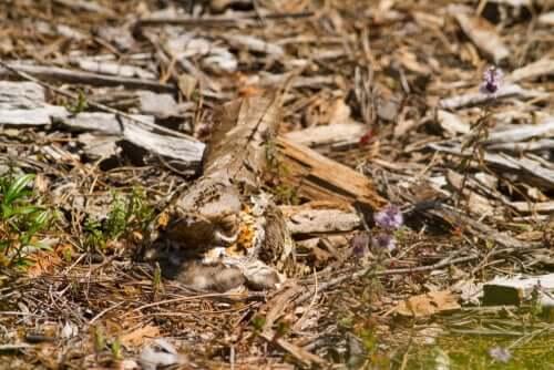 O corucão: habitat e comportamento