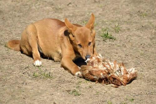 O dingo