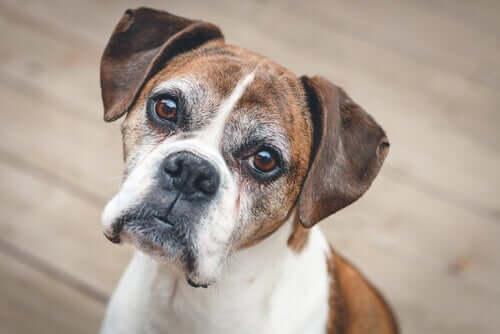 Demência em cães e gatos