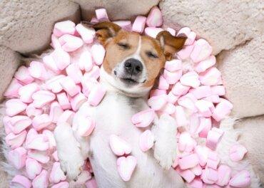 Os doces são perigosos para os cães?