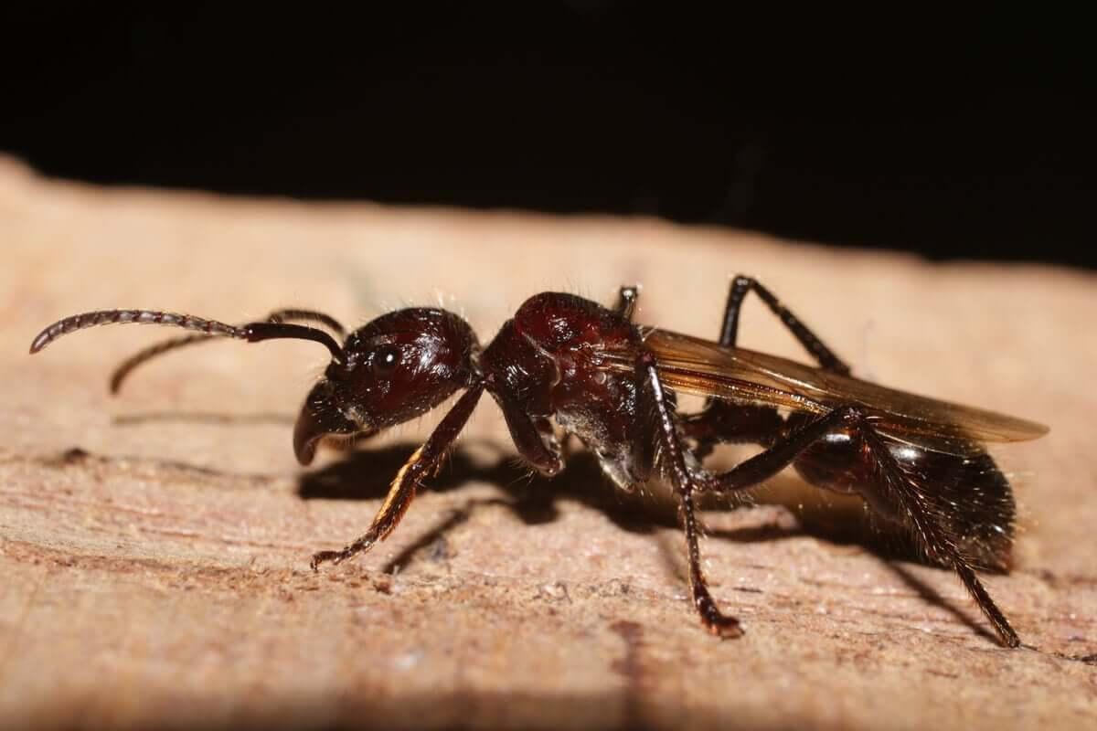 Como reconhecer a formiga-cabo-verde?