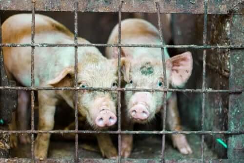 Fim das gaiolas de animais na Europa?