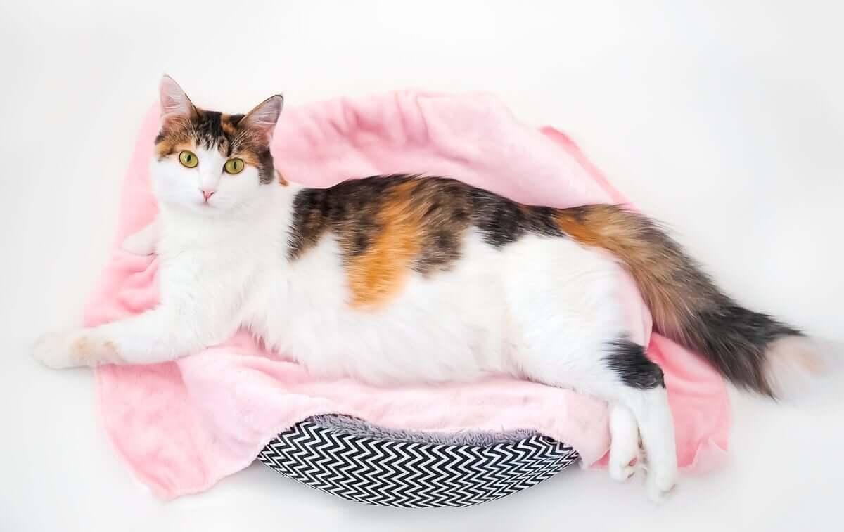 Emergências obstétricas pós-parto comuns em gatas
