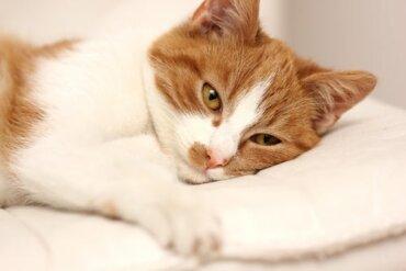 Tratamentos para a giardíase em gatos