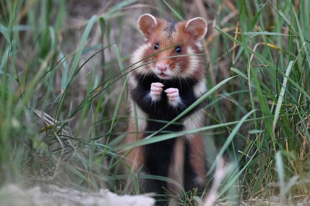 O hamster-europeu: um mamífero em grave perigo