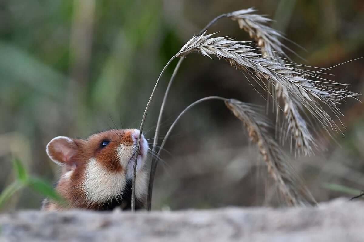 Por que o hamster-europeu está em sério perigo?