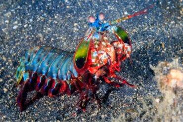 Lacraias-do-mar: as imbatíveis boxeadoras marinhas