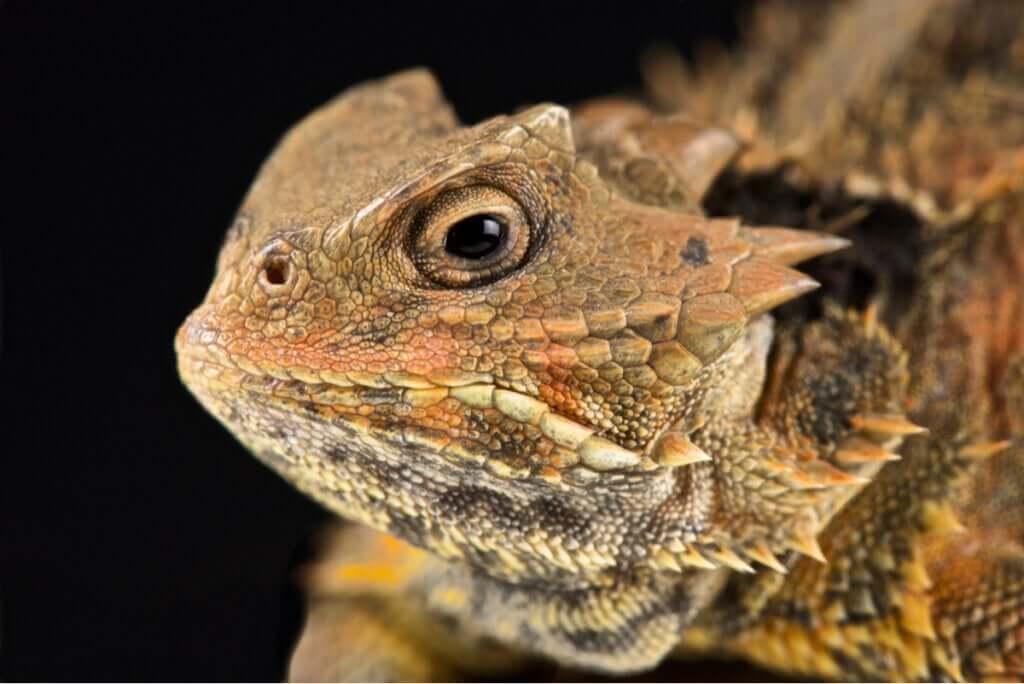 O lagarto com chifres: um réptil que chora sangue
