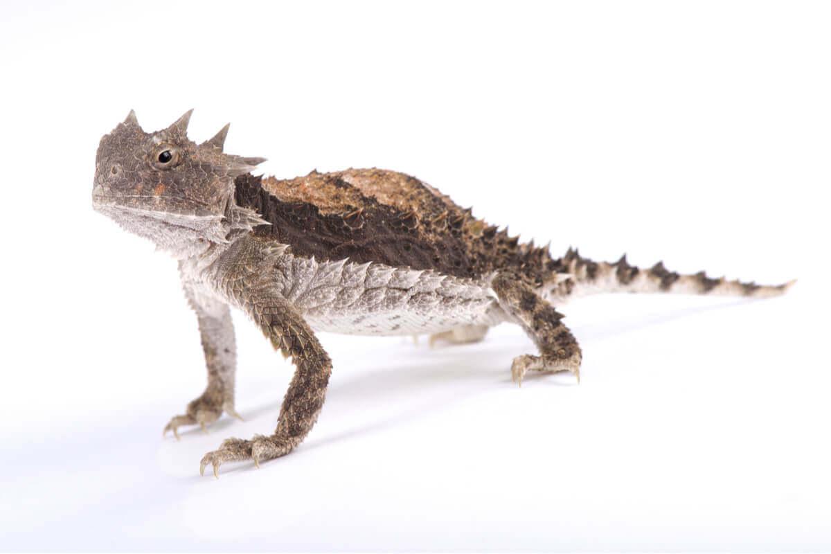 Onde podemos encontrar um maravilhoso lagarto com chifres?
