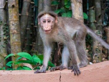 A espécie Macaca radiata e suas ameaças