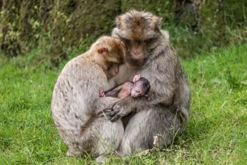 Possibilidades para a reabilitação de primatas