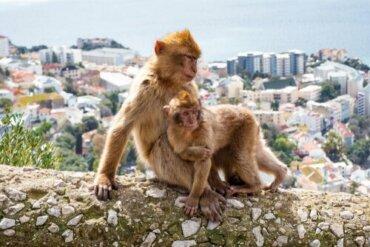 Macacos adotam um filhote ferido de outro grupo