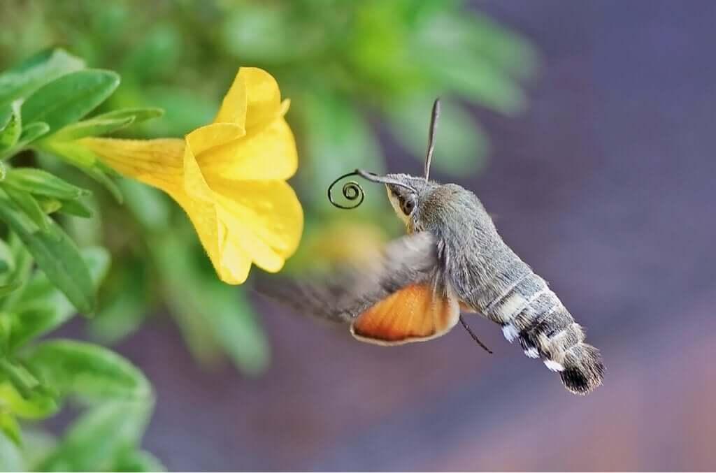 A mariposa-beija-flor: qual o seu papel na polinização?