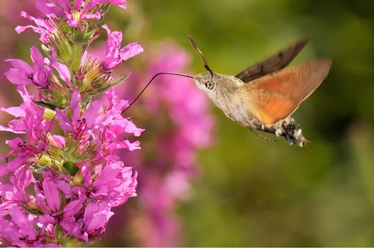 Como atrair a mariposa-beija-flor para o jardim