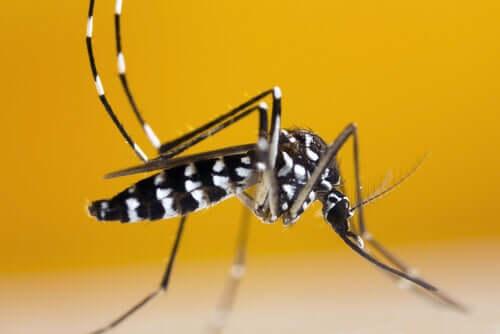 Como reconhecer o mosquito-tigre-asiático?