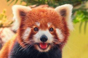 O comportamento dos pandas vermelhos