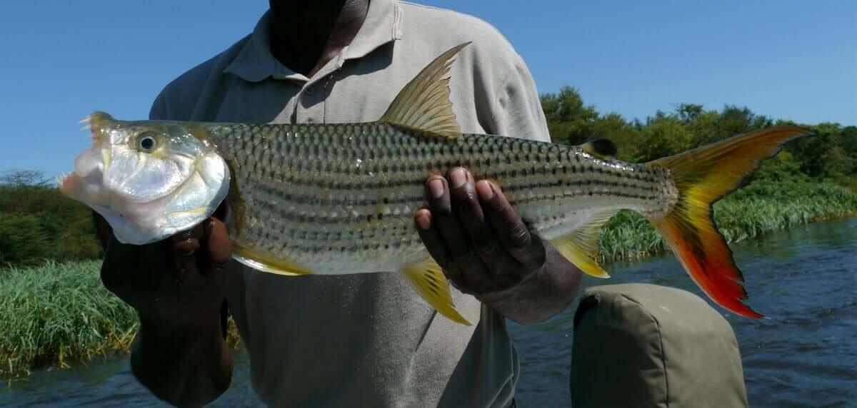 Espécie de peixe-tigre africano