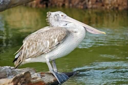 Pelicanos: famosos por seus bicos enormes