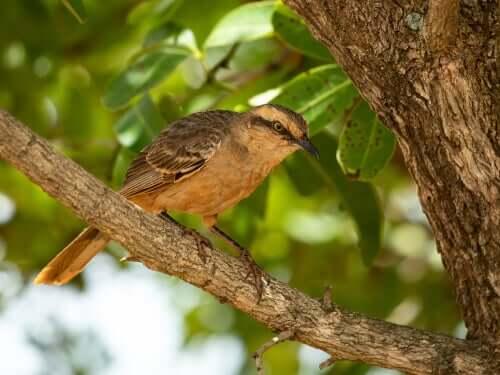 O sabiá-do-campo: uma ave de tons terrosos