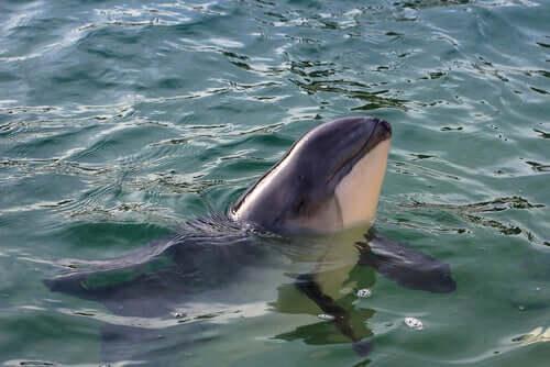 Toninhas: qual é a diferença com os golfinhos?