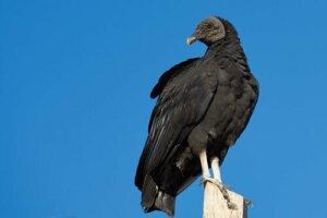 O urubu-de-cabeça-preta: estado de conservação