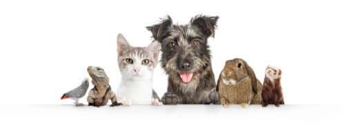 Ter vários animais em casa... Quantos?