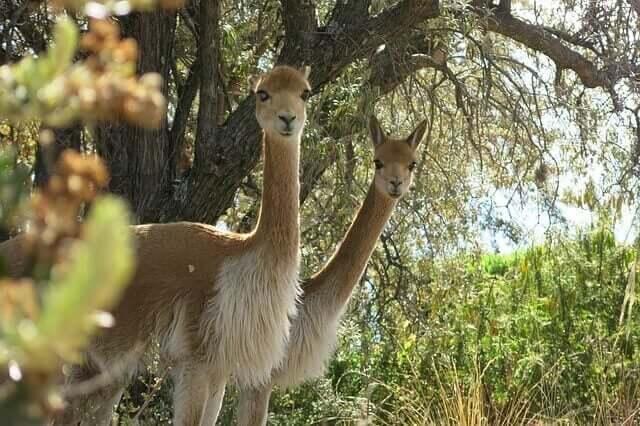 A vicunha: o símbolo nacional peruano