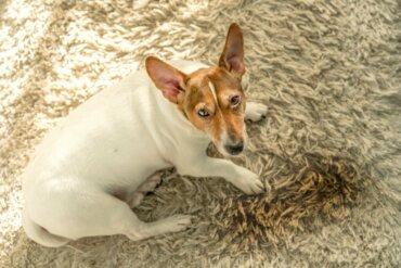 Cinco razões pelas quais os cães urinam dentro de casa